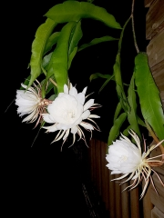 Flor Dama de la Noche Epiphyllum Oxypetalum en Casa Marcellino Cahuita Costa Rica